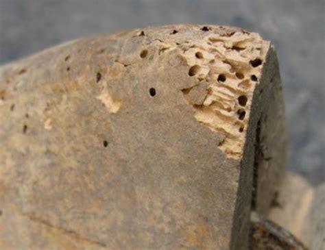 termites on wood furniture www pixshark images
