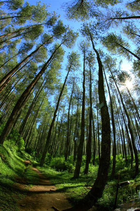 Maket Pohon Pinus 9cm pemilu 2009 tumbangkan 70 000 an pohon pinus i intelligence