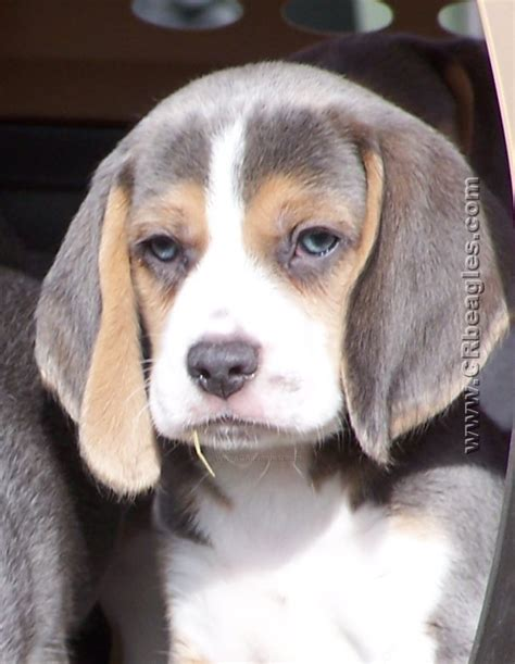 blue beagle puppies colors unique beagle colors khaki mocha lilac and silver