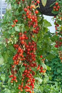 Flower Seeds For Hanging Baskets - 53 best images about hanging tomatoes on pinterest grow