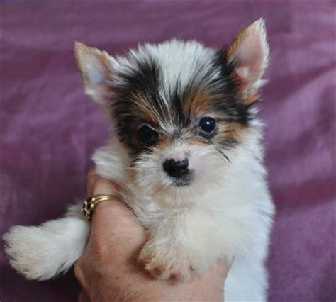 parti color yorkies for sale parti yorkies golden yorkies yorkie puppies