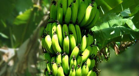 Planter Pots Bananier Plantation Entretien Et R 233 Colte