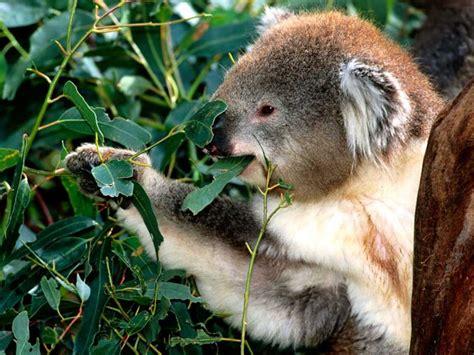 imagenes de animal wombat koala the biggest animals kingdom