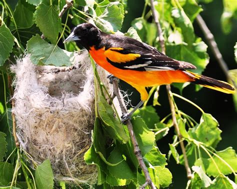 oriole in nest bird 8 x 10 glossy photo picture image 8