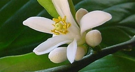 fiori limone coltivazione limoni domande e risposte orto e frutta