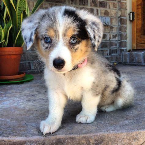 pomeranian cross corgi 10 times corgis mixed with other breeds and the result was absolutely pawsome