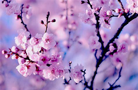 rosa blühende bäume 1716 die 51 besten blumen sch 246 ne hintergrundbilder f 252 r pc