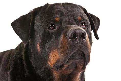 rottweiler breeds rottweiler breed information american kennel club