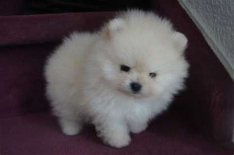 baby pomeranians for adoption true to type tiny baby teacup pomeranian puppies ready now for sale adoption from