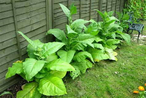 pheasant place growing tobacco
