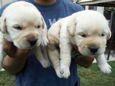 puppies for sale san luis obispo labrador retriever for sale adoption from santa california san luis obispo