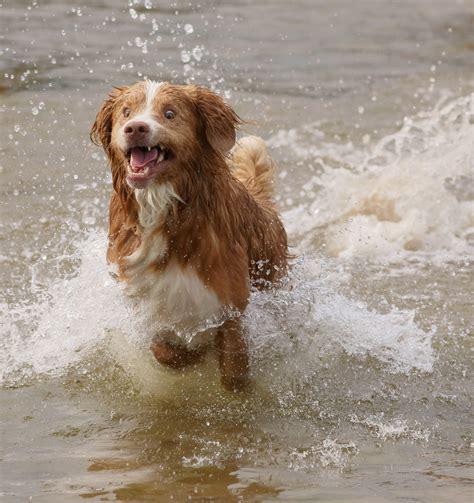 golden retriever webbed paws quot shetland sheepdog scotia duck tolling retriever mix