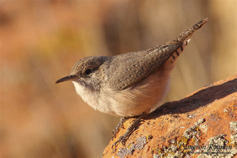 red cliffs desert reserve 187 rock wren salpinctes obsoletus