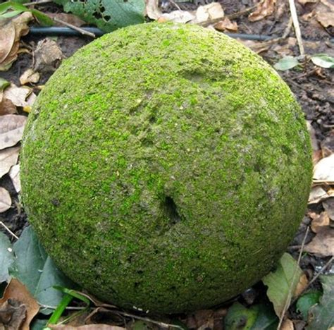 Medium Japanese Mossball 17 best images about hypertufa projects on