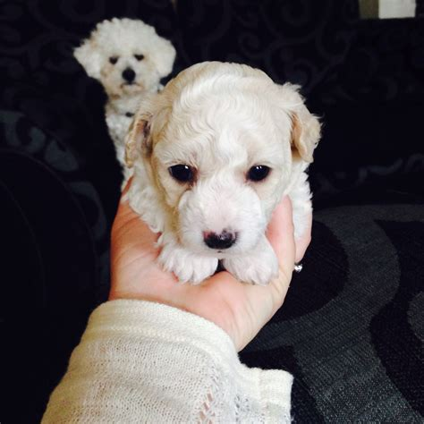 bichon puppies for sale bichon frise puppies for sale whitchurch shropshire pets4homes
