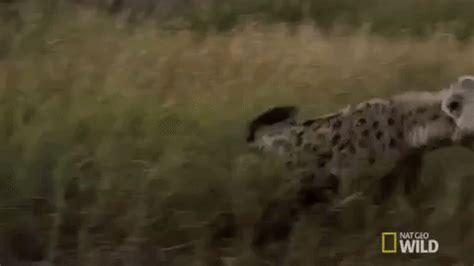 nat geo wild hyena gif by savage kingdom find & share on