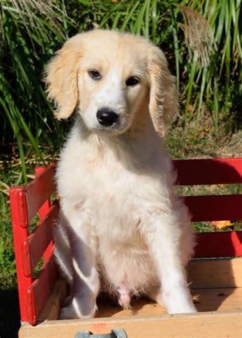 golden retriever puppies kansas city craigslist beautiful golden retriever puppies craigspets