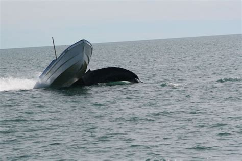 orca whale attacks fishing boat whale attacks a boat in mexico animals