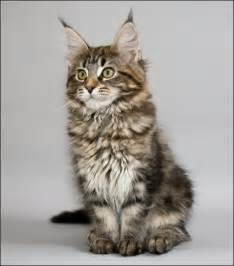 quizz nom d un chat quiz races chats
