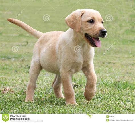 green labrador puppy adorable labrador puppy on green grass stock photo image 48425623