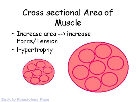 Cross Sectional Area Of Muscle