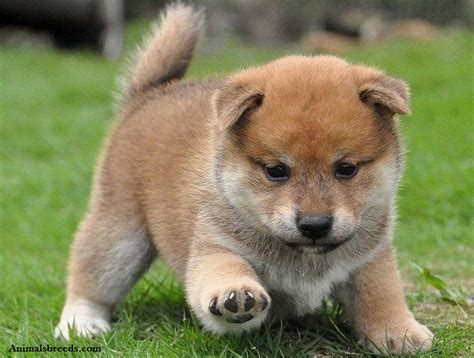 puppy shiba inu shiba inu puppies rescue pictures information temperament price animals breeds