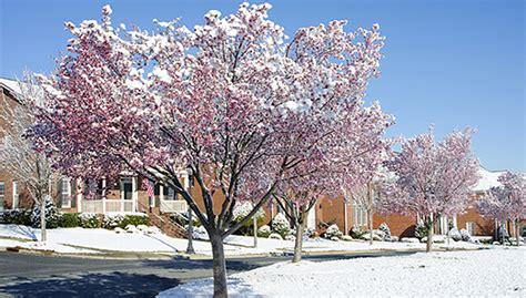 ciliegio in fiore il ciliegio in fiore d inverno profuma di primavera