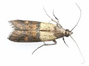indian meal moth indian meal moth prevention pa meal
