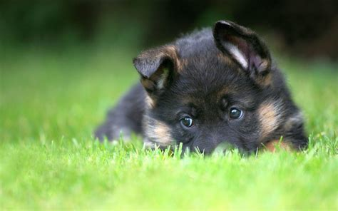dog wallpaper high quality puppies 10487 wallpaper walldiskpaper german shepherd wallpapers wallpaper cave