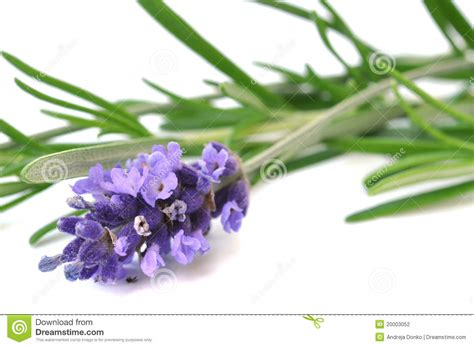 fresh lavender fresh lavender and rosemary stock photography image 20003052