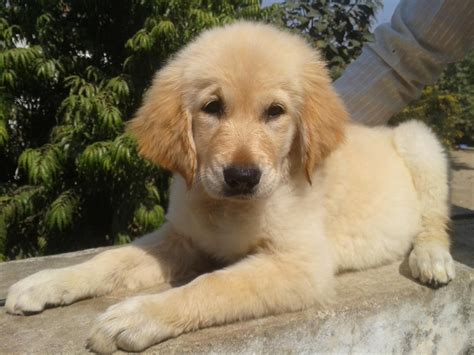 price for golden retriever golden retriever puppy price in india