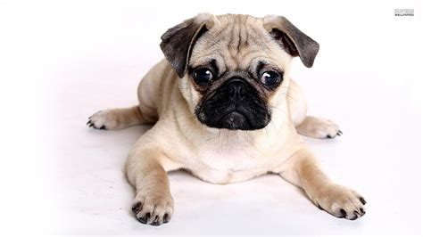 pug backgrounds for desktop pug wallpaper 91 desktop wallpaper dogbreedswallpapers