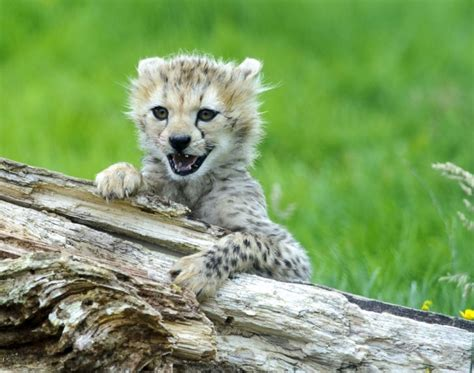 baby cheetah cub to become part of busch gardens cheetah white wolf septuplet cheetah cubs make public debut in