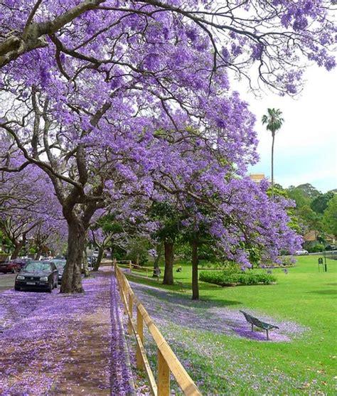 jacaranda trees at milsons pt sydney australia