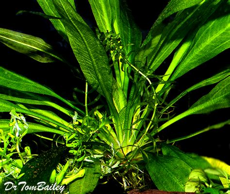 amazon plants aquarium plants for sale