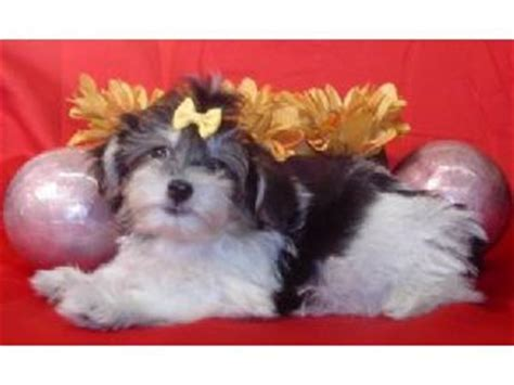 havanese rescue virginia havanese rescue island ny breeds picture
