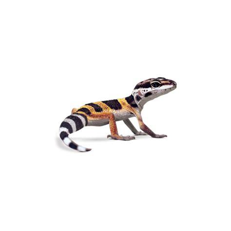 petco prices leopard geckos for sale buy pet leopard geckos petco