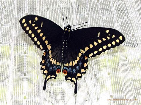 black butterfly black butterfly wallpaper funny animal