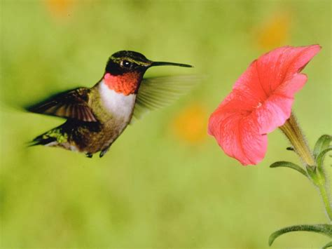 how to attract hummingbirds hgtv