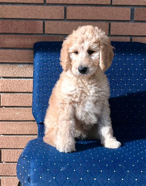 goldendoodle puppy exercise goldilocks trained f1b goldendoodle puppy s best friend