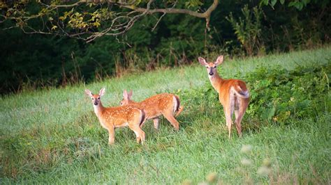 what is the gestation period for a what is the gestation period for whitetail deer reference