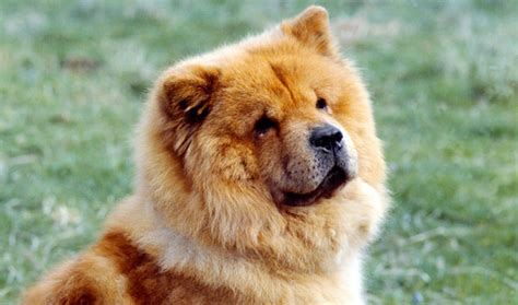 chow breed chow chow breed information