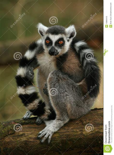ring taled lemur monkey stock photo image  beautiful
