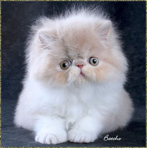 persian cats in orlando my persian kittens persian persian cat pictures posters news and videos on your