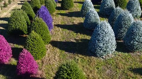 cost of tree wycoff tree farm nj gaudy or this tree farm will paint yours purple