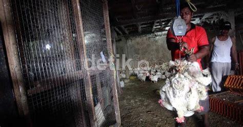 Berapa Bibit Ayam Broiler cara menghitung berat rata rata badan ayam tips cara memelihara ayam