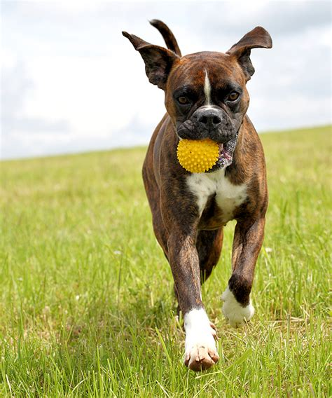 cropping dogs ears boxer cropped ears www imgkid the image kid has it