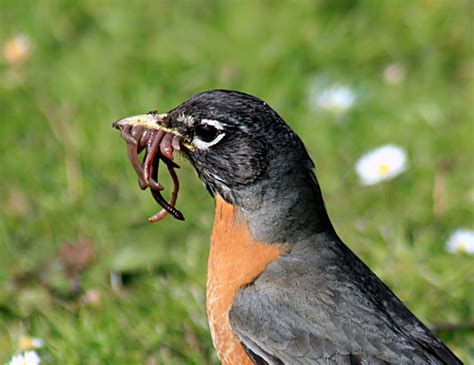 what do american robin bird eat can robins hear worms montana state library