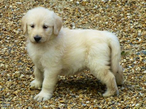 this puppy yellow labradoodle puppies uckfield east sussex pets4homes