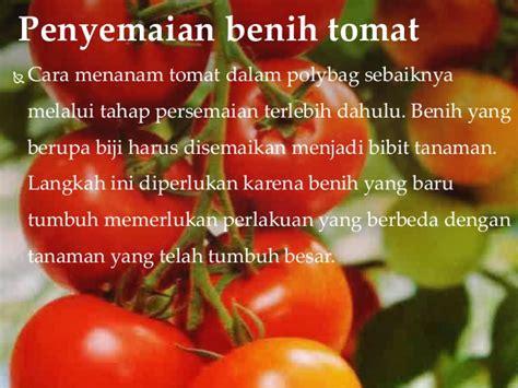 Biji Tomat Cherry Unggul prakarya budidaya tomat